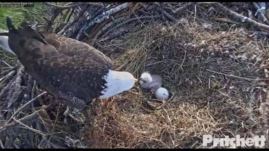 Harriet watches over her baby eagles