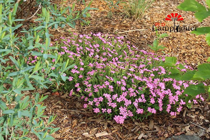 Pink flowers are seen within the garden as the first to sprout this spring. Pink flowers were planted in memory of Josh Shipman.