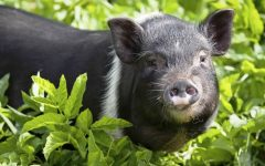 Why Pigs are the Best Pets
