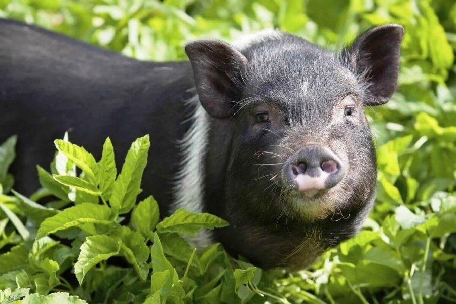 A black mini pig frolicking in an open green field.