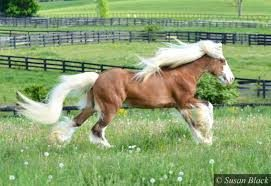 A gypsy vanner horse