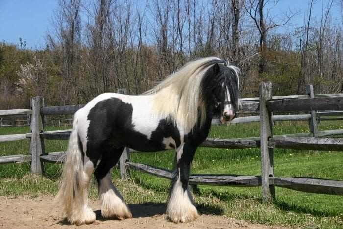 A single picture of a Gypsy Vanner horse in a field.