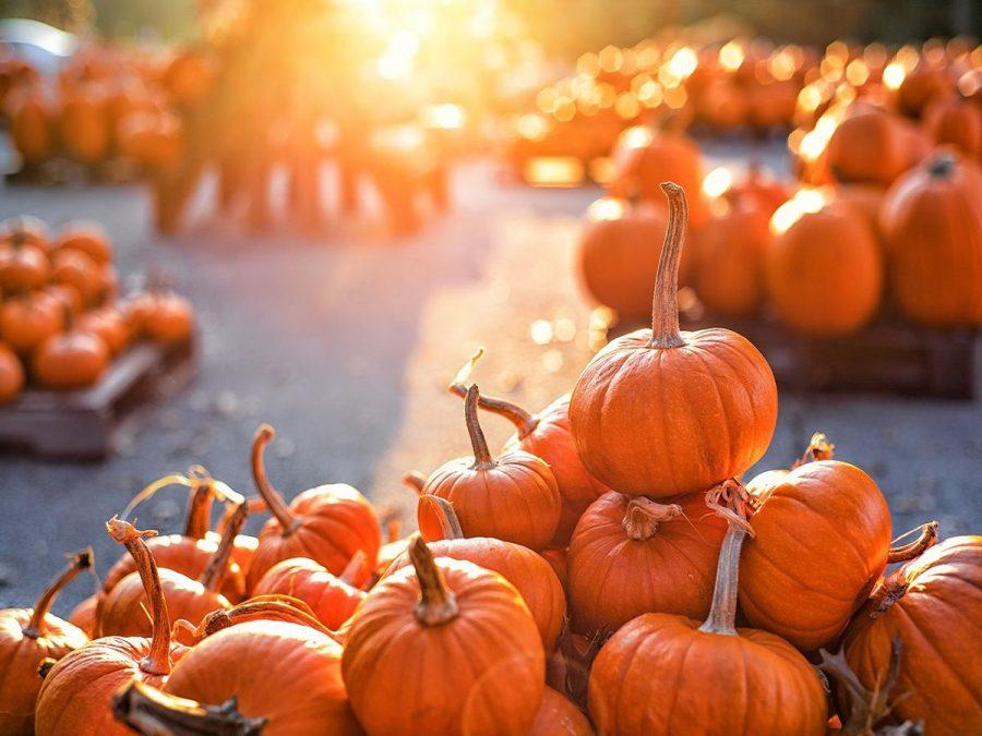 The sun shining down on pumpkins in a pumpkin patch.