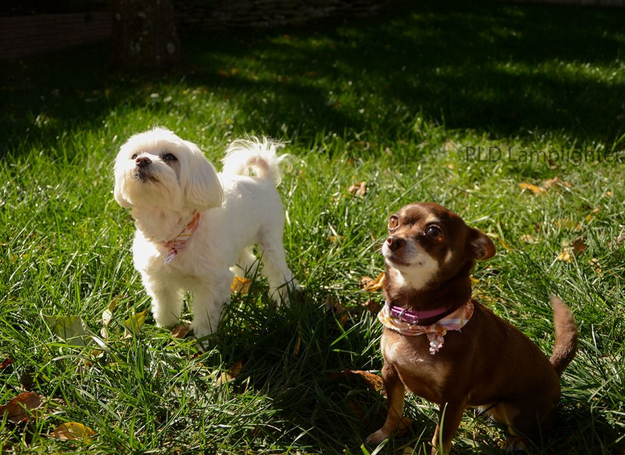Senior Elizabeth Fitzpatrick has two adorable dogs: Lila, a 13-year-old maltese and poodle mix (L) and Olivia, a nine-year-old chihuahua (R).