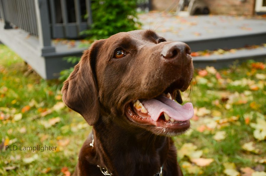 This is a Chocolate Lab named Indie. She is 9-years-old and belongs to senior Emily Spores.
